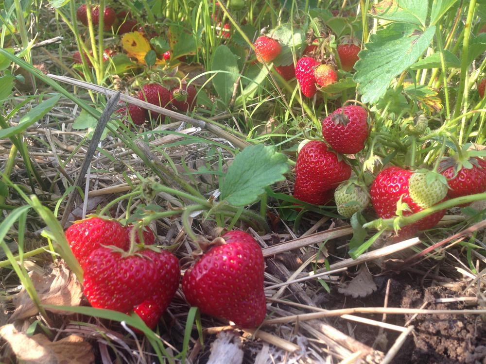 strawberries at Iowa Orchard