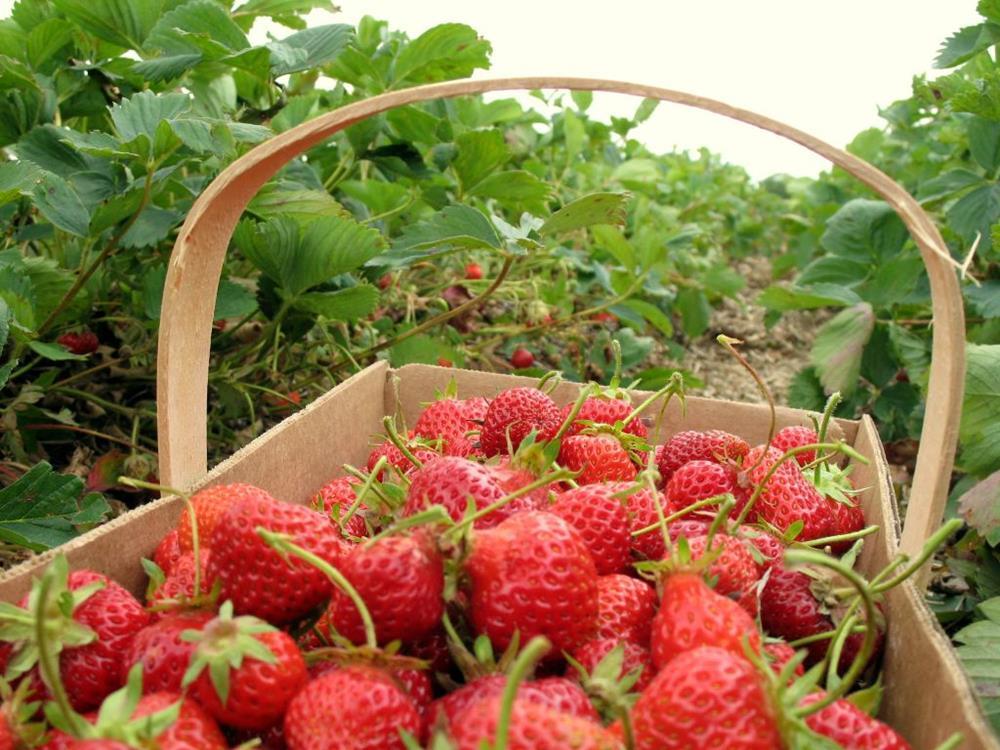 iowa orchard strawberries